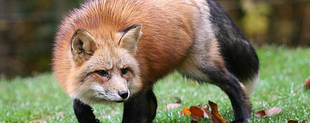 В Набережных Челнах дикая лиса напала на детвору (ВИДЕО)