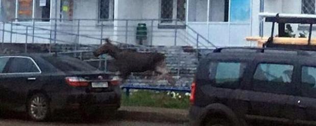 В один из жилых массивов Набережных Челнов забрел лось
