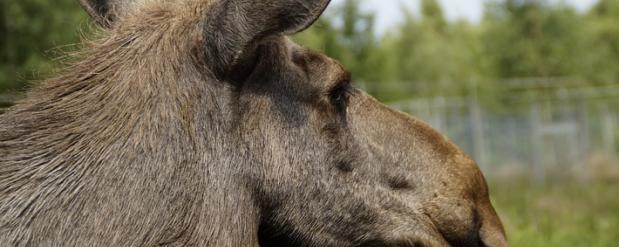 В Татарстане жители спасли от голодной смерти лося, который переплыл Каму